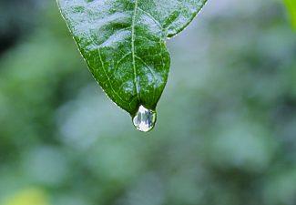 Droppe faller från grönt löv